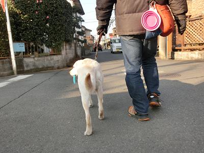 おもちゃを咥えて歩く犬