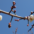 青空に映える梅の花