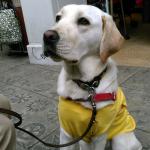盲導犬パピー ショッピングモールを闊歩する?