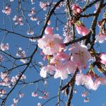 犬連れ北浅羽桜堤公園 安行寒桜 穴場のお花見スポット