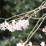 犬連れ北本自然観察公園 エドヒガンザクラで春を満喫