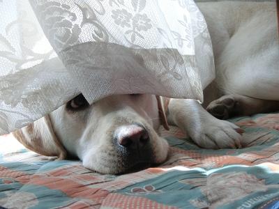 カーテンの隙間から顔を出す犬
