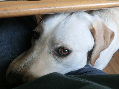 膝に顎を乗せる子犬