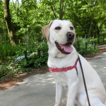 1頭の犬が人の心を繋いでいくんだね パピーウォーカーの喜び