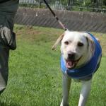 犬が芝生や草を食べるのはなぜ?犬が草を食べるのは問題ないの?