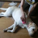 犬用ブラシ ハゲチャビンになるんじゃない?と思うほど抜け毛が取れる