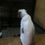 【ラブラドール1歳6か月】人が大好きで人に興奮しやすい犬の対処法