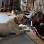 先輩繁殖犬飼育ボランティアさんのお宅にお邪魔しました