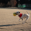 サッカーボールをくわえる犬