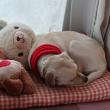 丸くなって眠る犬