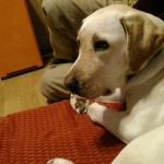 犬にコマンドに従うことを教えるが自ら考える力も伸ばしたい