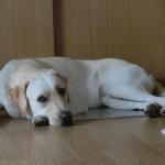 盲導犬繁殖犬飼育ボランティアの条件と申請から委託まで