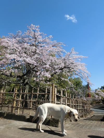 祇園枝垂桜千代鶴姫