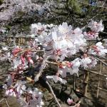 犬連れ桜咲く熊谷 星川シンボルロード・中央公園・高城神社
