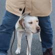 散歩中足の間に入る犬