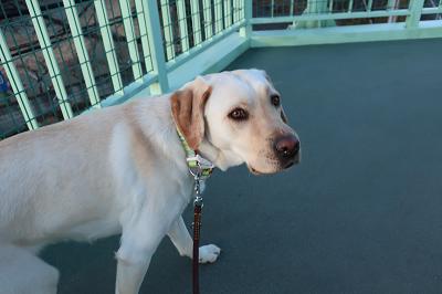 歩道橋を歩く犬