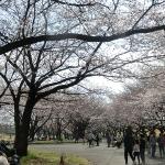 見事な桜並木!犬も子どもも遊べる川越水上公園でお花見