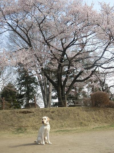 御殿桜と犬