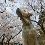 犬連れ赤城南面千本桜