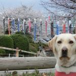 犬連れ諏訪西山公園・千本桜とこいのぼりが圧巻
