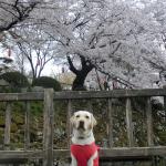 犬連れ桜と諏訪高島城