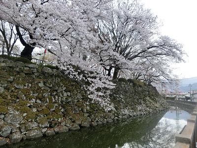 高島城の堀と桜