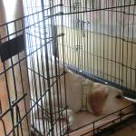 室内犬はケージ飼いと放し飼いどちらがいいの?