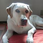 犬が手足を舐めるのはストレス?寝る前だけや舐め続けなければ心配無し