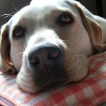 わがまま犬は愛情深い犬!どうせなら可愛いわがまま犬に育てよう
