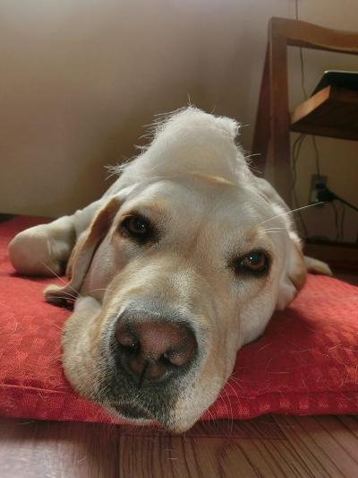 抜け毛を頭に乗せられた犬