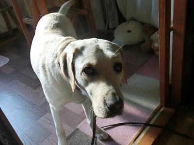 お散歩に行く直前の犬