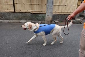 引っ張り気味に散歩する犬
