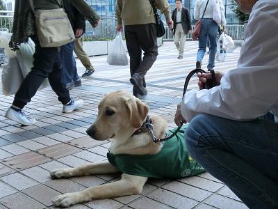 待機の練習をする盲導犬パピー