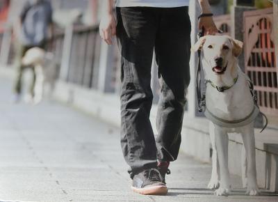 盲導犬訓練犬