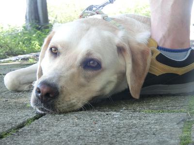 休息する犬