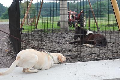 ポニーの檻の前に伏せる犬