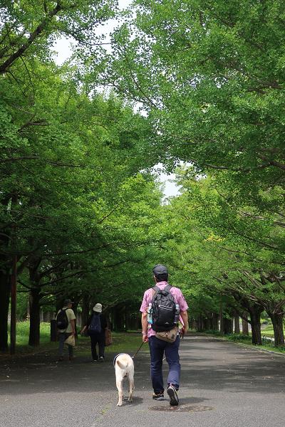 銀杏並木を歩く犬連れの人