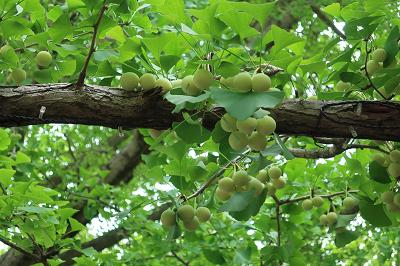 銀杏の木に成る銀杏