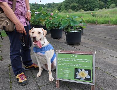 ハスの花と犬