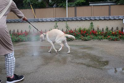 水と戯れる犬