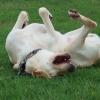 芝生でゴロゴロする犬