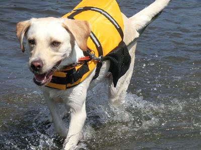 湖から上がる犬