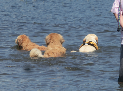 泳ぐ3頭の犬