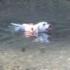 ボールを咥えて泳ぐ犬