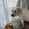 窓辺に立つ犬