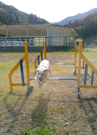 ハードルを飛ぶ犬