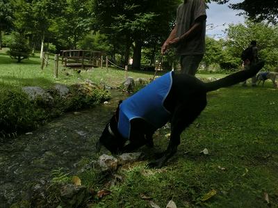 川に顔を入れる犬