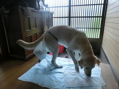 ワンツーベルトで排泄しようとしている犬