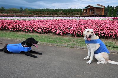 日日草と犬