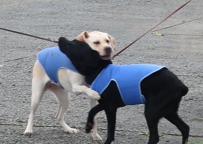 じゃれ合う犬